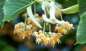 Caratteristiche botaniche-300x180