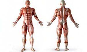 Le proprietà del muscolo-300x180
