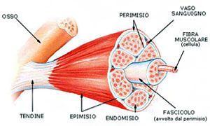 Tipi di muscolo-300x180