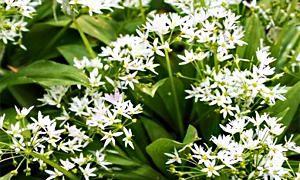 Aglio orsino-Allium ursinum-300x180