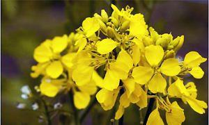 Mustard-300x180