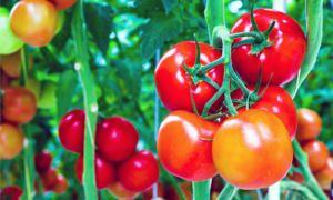 Pomodori-300x180