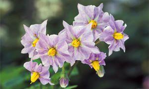 Una pianta diabolica-300x180