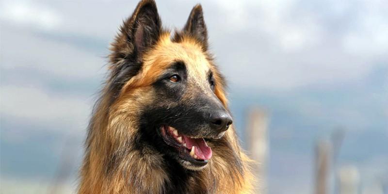 Cane Da Pastore Belga Un Cane Elegante Forte Devoto E Affettuoso