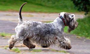 La toelettatura del Terrier Boemo-300x180