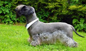 Lo Standard del Terrier Boemo-300x180