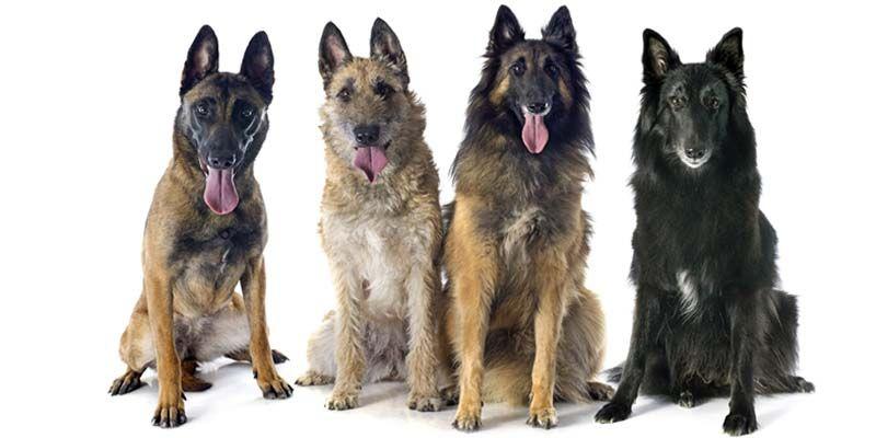Cane da pastore belga un cane elegante forte devoto e for Nomi per cani maschi taglia piccola