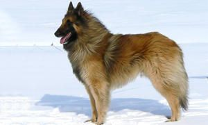 Standard del cane da Pastore Belga-300x180