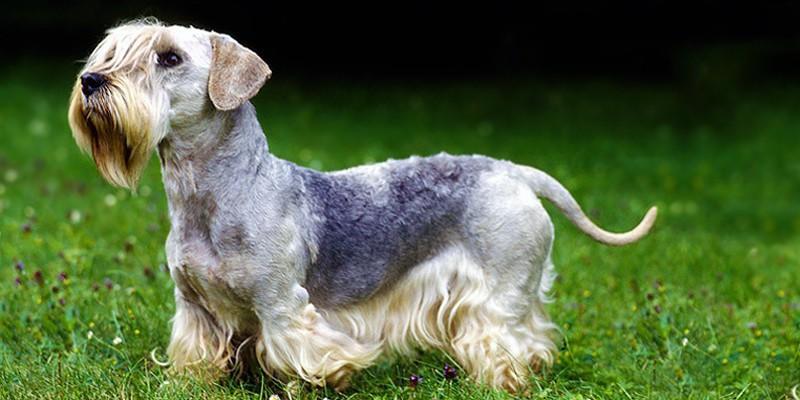 Terrier Boemo3-800x400