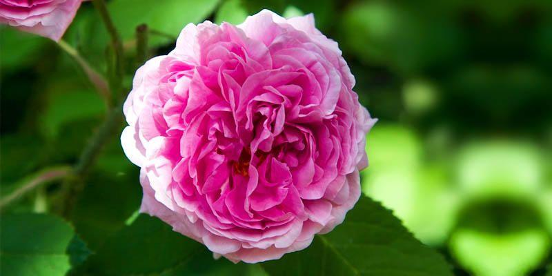 5 meravigliose Rose Antiche 2-800x400