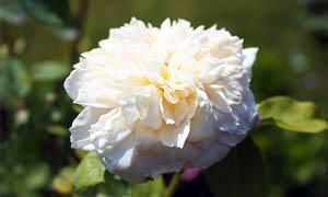 Blanche Moreau Rosa muscosa-300x180