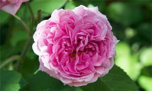 Comte de Chambord rose-300x180