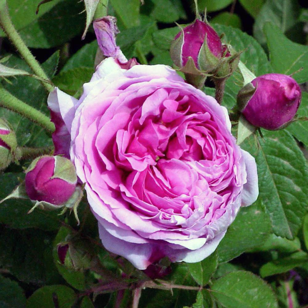 Quante Varietà Di Rose Esistono 5 rose antiche straordinarie e senza tempo | best5.it