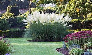 Cortaderia selloana-300x180