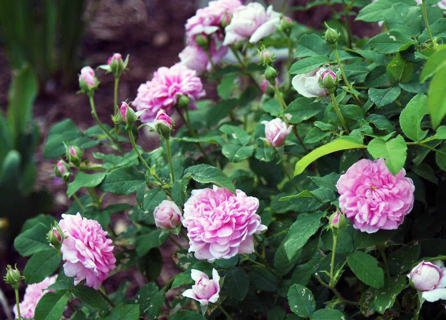 Rose Rampicanti Senza Spine 5 rose antiche straordinarie e senza tempo | best5.it