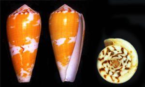 L'origine degli antidolorifici e la lumaca di mare-300x180