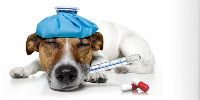 5 malattie batteriche del cane1-800x400