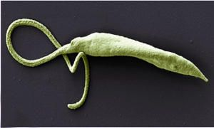 Leishmania Braziliensis-300x180