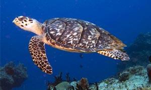 Condor della California e tartaruga marina imbicata-300x180