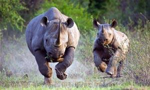 Orango e rinoceronte-300x180