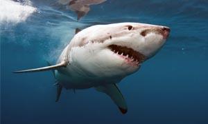 Rospo dorato e squalo-300x180