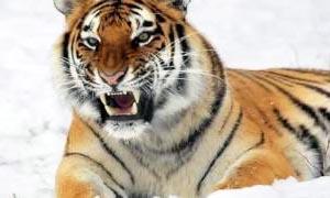Tigre siberiana e orso polare-300x180