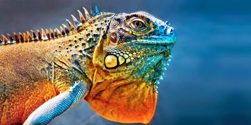 L'iguana2-800x400