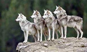 Caccia cooperativa e il lupo italiano-300x180