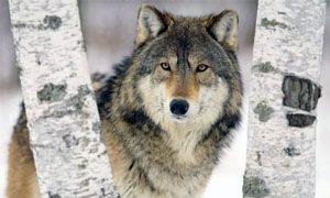 Investire sui geni e i lupi solitari -300x180