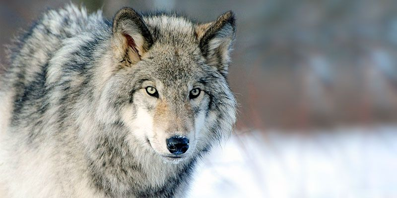 il lupo2-800x400