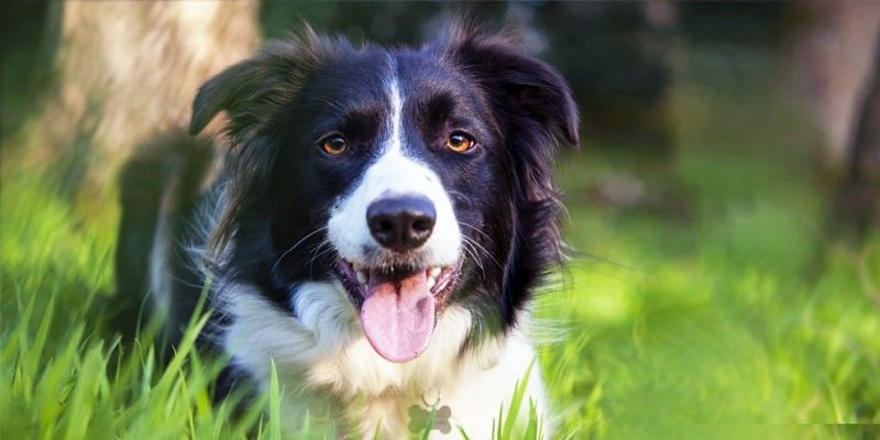 Border-Collie1-800x400