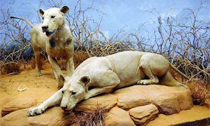 I leoni di Tsavo-300x180