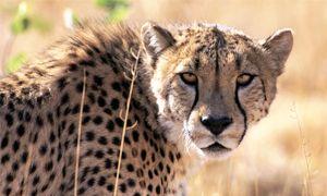 Il docile ghepardo e i felini delle Americhe-300x180
