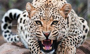 Il leopardo-300x180