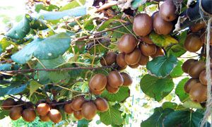 La pianta di kiwi raggiunge i 10 metri di altezza-300x180