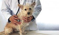 Le malattie dell'apparato cardiocircolatorio del cane2-800x400