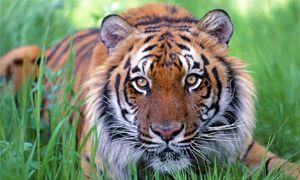 Le tigri del Bengala-300x180