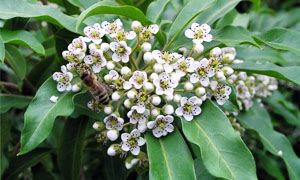 Photinia davidiana-300x180