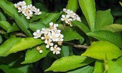 Photinia, un arbusto poco conosciuto2-800x400