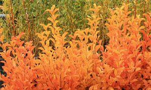 Photinia villosa-300x180