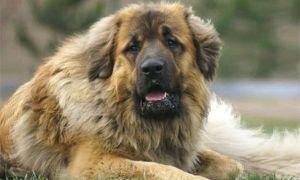 Un cane lupo molossoide-300x180