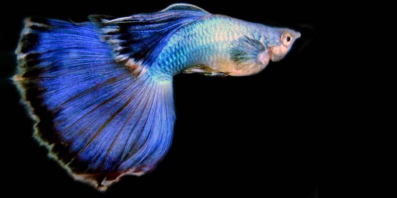Il guppy un piccolo pesce dai colori sgargianti per il for Pesci per acquario piccolo
