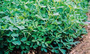 L'arachide-Arachis hypogaea-300x180