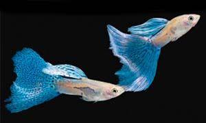 Sala Parto Guppy : Il guppy: un piccolo pesce dai colori sgargianti per il tuo acquario