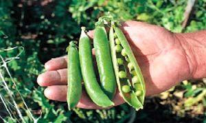 Cure di coltivazione e raccolta-300x180