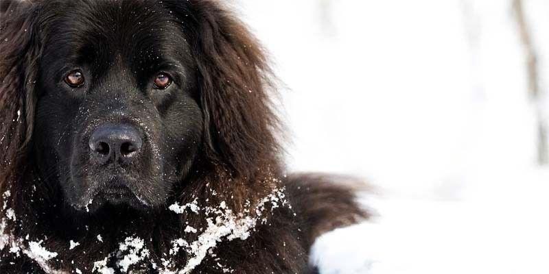Terranova: un cane affettuoso e bagnino