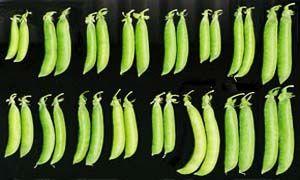 Varietà da coltivare-300x180