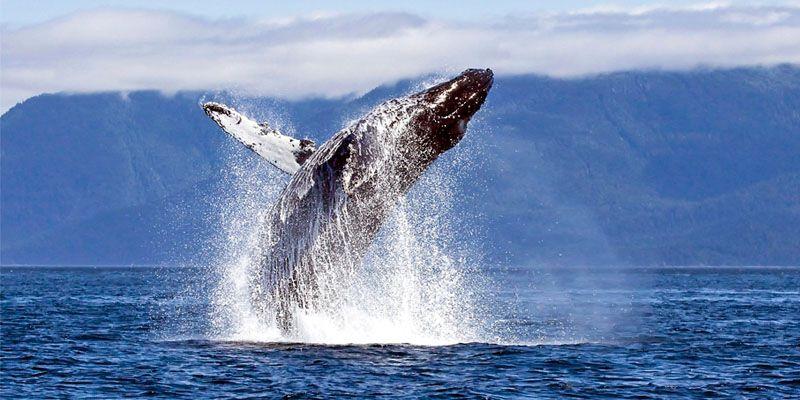 Le balene- 5 cose interessanti da sapere1-800x400