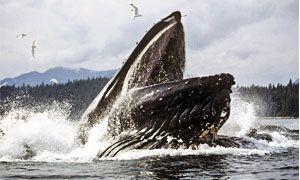 Una balena cacciatrice-300x180