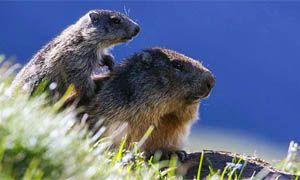 Dove incontrare le marmotte in Italia-300x180